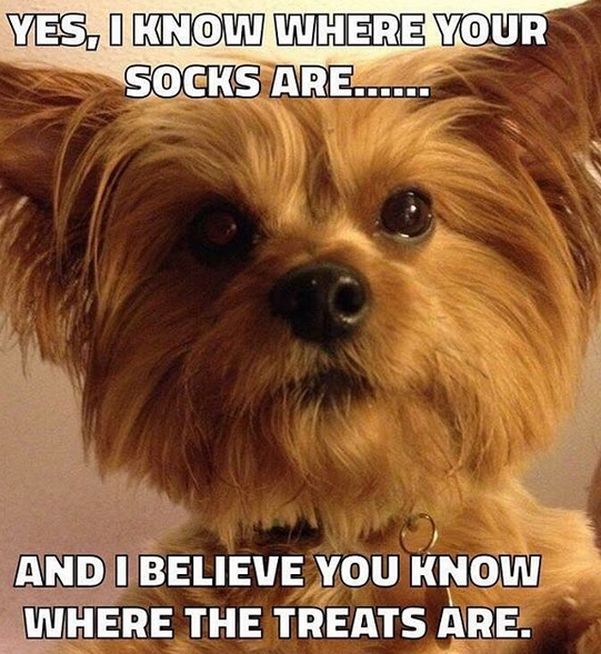 Dog meme featuring a yorkie